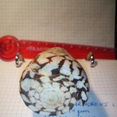 Coleccionismo de moluscos: BONITA CARACOLA CONUS MARMOREUS EN PERFECTO ESTADO DE CONSERVACIÓN. Lote 237311345