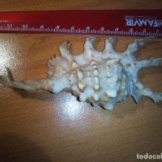 Coleccionismo de moluscos: CARACOLA LAMBIS SCORPIUS CARACOL, CONCHA, MALACOLOGIA. Lote 237852405