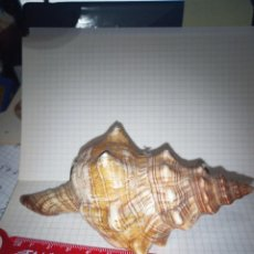 Coleccionismo de moluscos: CARACOLA PENION DILATATUS. Lote 237908335