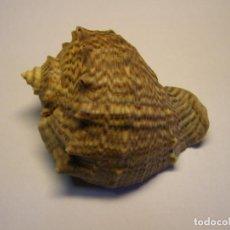 Collezionismo di molluschi: CARACOL SHELL SNAIL RAPANA VENOSA, RUSIA.. Lote 238350335