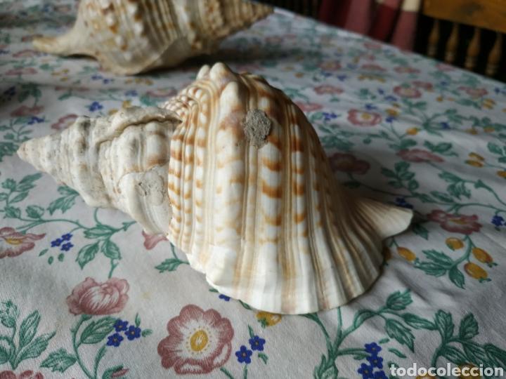 Coleccionismo de moluscos: Pareja de caracolas - Foto 2 - 243017820