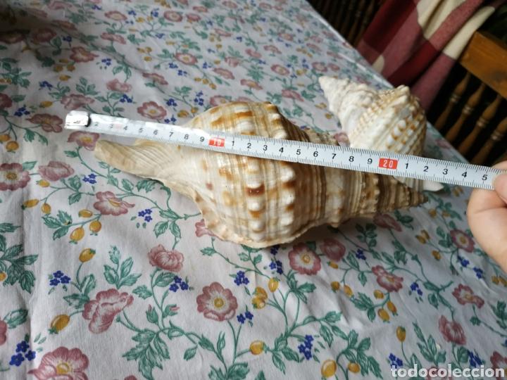 Coleccionismo de moluscos: Pareja de caracolas - Foto 3 - 243017820