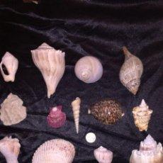 Coleccionismo de moluscos: CONCHAS MARINAS. Lote 243200825
