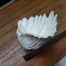 Coleccionismo de moluscos: CONCHA MARINA. Lote 243891605