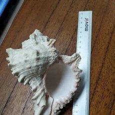 Coleccionismo de moluscos: CONCHA MARINA. Lote 243893315
