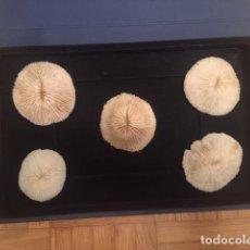 Coleccionismo de moluscos: TAXIDERMIA.- BELLA COMPOSICIÓN DE CORALES BLANCOS 5 EJEMPLARES (FUNGIA FUNGITES.) CORALES SETA. Lote 246614520