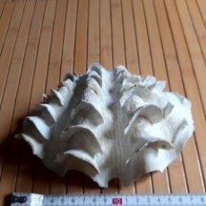 Coleccionismo de moluscos: ANTIGUA CONCHA MARINA. Lote 247648485