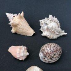 Coleccionismo de moluscos: LOTE DE 5 CARACOLAS DIFERENTES. Lote 248126300