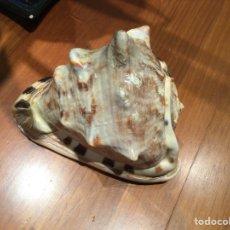 Coleccionismo de moluscos: CARACOLA GRANDE. Lote 251260520