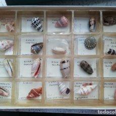 Coleccionismo de moluscos: MALACOLOGIA CAJA CON 20 CONCHAS PERFECTAMENTE IDENTIFICADAS. Lote 252461880