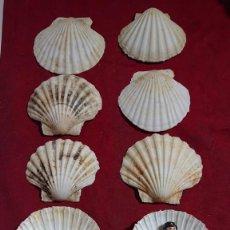 Coleccionismo de moluscos: LOTE DE 10 CONCHA MARINA VIEIRA - MALACOLOGIA -. Lote 257615990