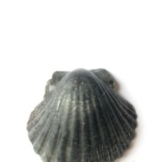 Collezionismo di molluschi: PECTEN MAXIMUS/ VIEIRA / VENERA NEGRA. Lote 257965235