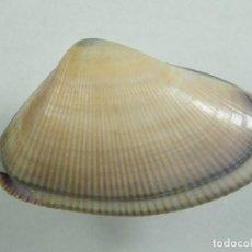 Colecionismo de moluscos: #187 DONAX MARINCOVICHI. 26MM. PERÚ.. Lote 259328135