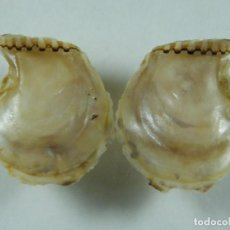 Colecionismo de moluscos: #012 ISOGNOMON ALATUS. 25.5MM. REPÚBLICA DOMINICANA.. Lote 259330100