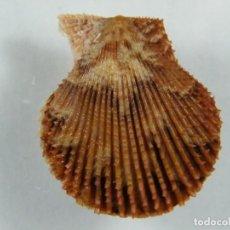 Colecionismo de moluscos: #069 PECTEN VARIA, 33MM. ESPAÑA.. Lote 259920635