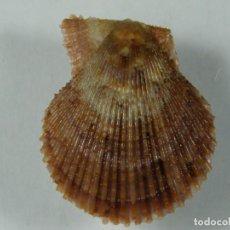 Colecionismo de moluscos: #108 PECTEN VARIA, 28MM. PORTUGAL.. Lote 260108610