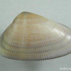 Colecionismo de moluscos: #170 DONAX MARINCOVICHI. 28MM. PERÚ.. Lote 261696700