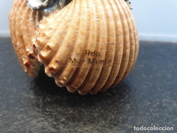 Coleccionismo de moluscos: Pinchos aperitivos hecho con conchas. Recuerdo del Mar Menor (Envío 2,50€) - Foto 2 - 264035230