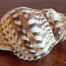 Collezionismo di molluschi: PRECIOSA CONCHA DE CARACOLA DE MAR GIGANTE. AÑOS 50.. Lote 264074190