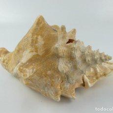 Collezionismo di molluschi: CARACOL CARACOLA CONCHA MARINA MAR. Lote 264240420