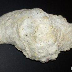 Coleccionismo de moluscos: CARACOLA - 24 X 12 CMS APROX. Lote 270870658