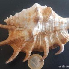 """Coleccionismo de moluscos: CONCHA """"LAMBIS"""". Lote 270959873"""