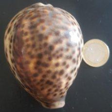 "Coleccionismo de moluscos: CONCHA ""CYPRAEA TIGRIS"". Lote 270960263"