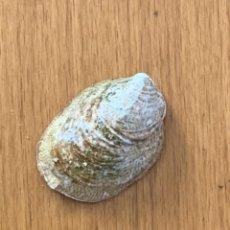 Coleccionismo de moluscos: CREPÍDULA FORNICATA. Lote 285661908