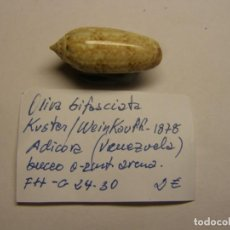 Coleccionismo de moluscos: CARACOL SNAIL SHELL OLIVA BIFASCIATA. VENEZUELA.. Lote 289898548