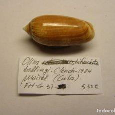 Coleccionismo de moluscos: CARACOL SNAIL SHELL OLIVA BIFASCIATA. CUBA.. Lote 289899103