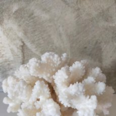 Coleccionismo de moluscos: CORAL BLANCO VINTAGE. Lote 293917318