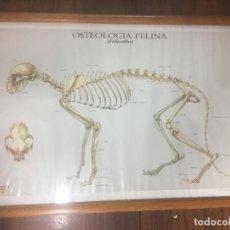 Coleccionismo Papel Varios: CARTEL-PÓSTER OSTEOLOGIA FELINA (FELIS CATUS) - DISEÑO: VIVO I GANDIA - ILUSTRACION: MARCEL SOLIAS. Lote 112833175