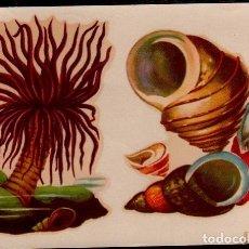 Pegatinas de colección: C17-5-49 CALCOMANIAS ORTEGA SERIE CONCHAS Y SIMILARES SERIE D - D Nº 49.. Lote 173606952