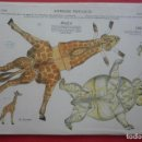 Coleccionismo Recortables: ANIMALES PLEGABLES. 'JIRAFA Y OSO'. EDICIONES LA TIJERA SERIE 10 Nº 215. TAMAÑO 23X33,5 CM.. Lote 135241242