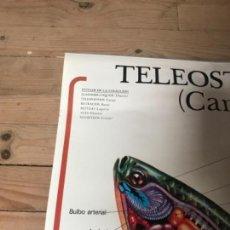 Coleccionismo Recortables: NATURALEZA,ESCUELA, CARTEL ENSEÑANZA DE NATURALEZA. LA CARPA. Lote 166144450