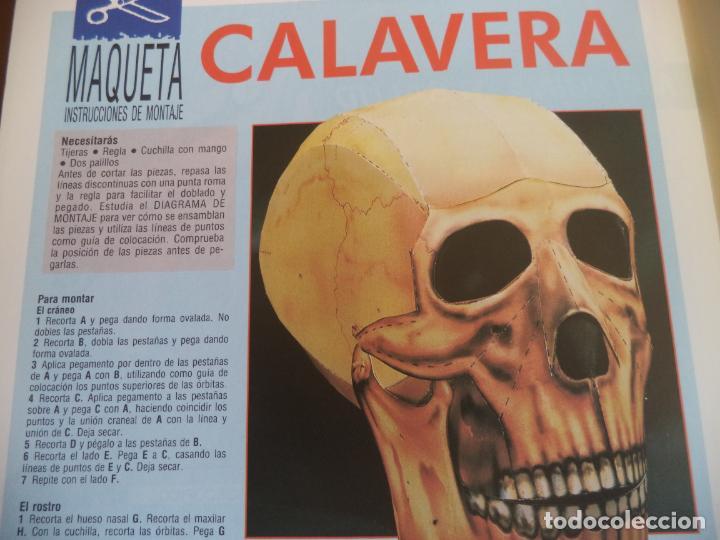 Coleccionismo Recortables: CALAVERA HUMANA 4 PAGINAS 29X20,5 CM - Foto 2 - 155640242