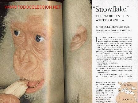 Coleccionismo de National Geographic: NATIONAL GEOGRAPHIC MARZO 1967 COPITO DE NIEVE - Foto 2 - 9154078
