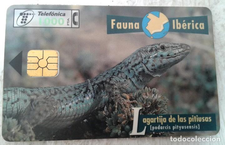 LAGARTIJA DE LAS PITIUSAS - TARJETA TELEFÓNICA - FAUNA IBÉRICA - 1000 PTAS (Coleccionismo - Tarjetas Telefónicas)