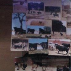 Tauromaquia: LOTE DE 17 FOTOS DE TOROS DE LIDIA EN EL CAMPO ANTES DE IR A UNA CORRIDA DE TOROS. Lote 237992345