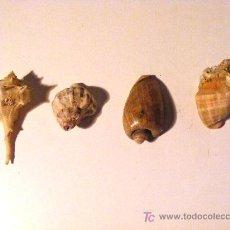 Coleccionismo: CARACOLAS DE MAR LOTE. Lote 24852276