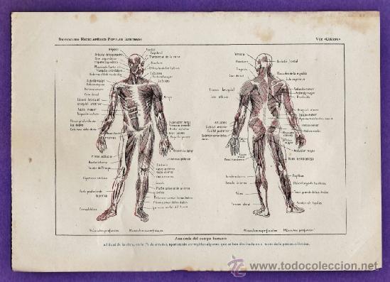 lamina suelta - anatomia del cuerpo humano / mu - Comprar Documentos ...