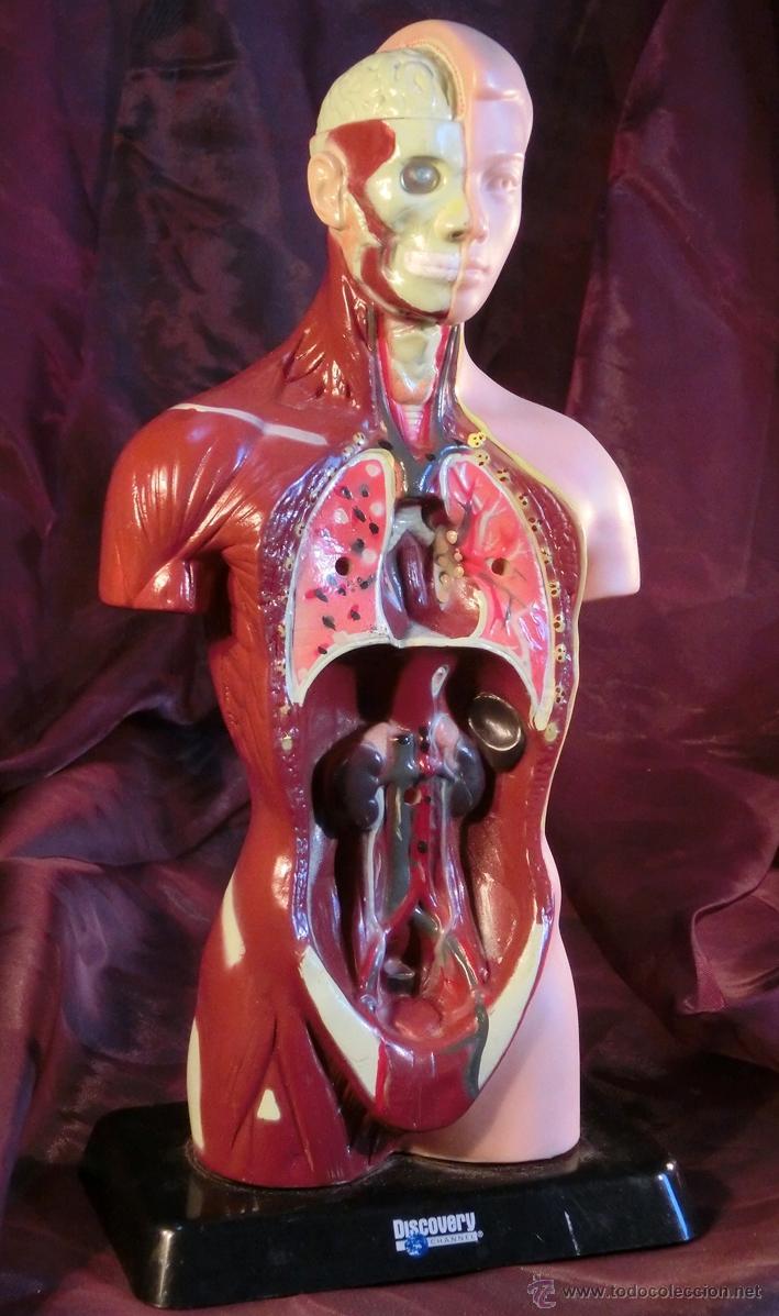 Lujo Modelos De La Anatomía De Plástico Friso - Imágenes de Anatomía ...
