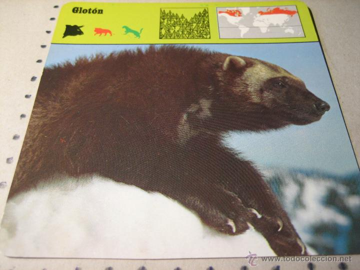 FICHA COLECCIONABLE ANIMALES. RENCONTRE. SAPE 1978.-:GLOTON (Coleccionismo - Laminas, Programas y Otros Documentos)