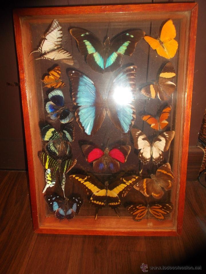 16 mariposas disecadas en marco de madera y dob - Comprar en ...