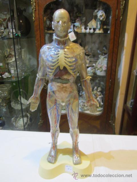 anatomia cuerpo humano, en celuloide, con esque - Comprar en ...
