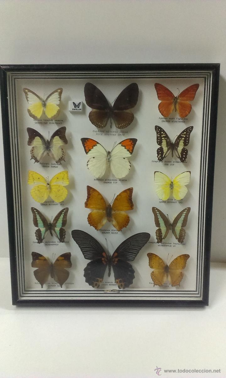 preciosa coleccion de mariposas disecadas . enm - Comprar en ...