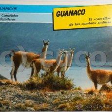 Coleccionismo: TARJETA, FICHA, ANIMALES, REINO, ANIMAL, MAMIFEROS, 80, GUANACO, LLAMA,SARPE. Lote 42947023