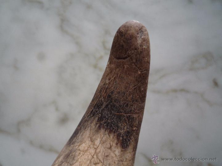 Coleccionismo: Antiguo CUERNO ASTA / animal sin identificar: vaca, toro, ternero... / original y sin pulir - Foto 5 - 54930443