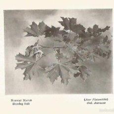 Coleccionismo: LAMINA 990: ARCE NORUEGO. Lote 55651893