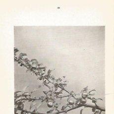 Coleccionismo: LAMINA 998: MANZANO SILVESTRE. Lote 55651904